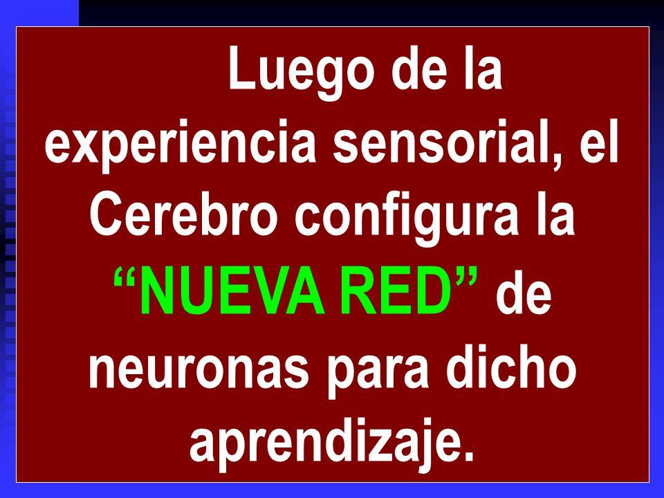 Luego de la experiencia sensorial, el Cerebro configura la NUEVA RED de neuronas para dicho aprendizaje.