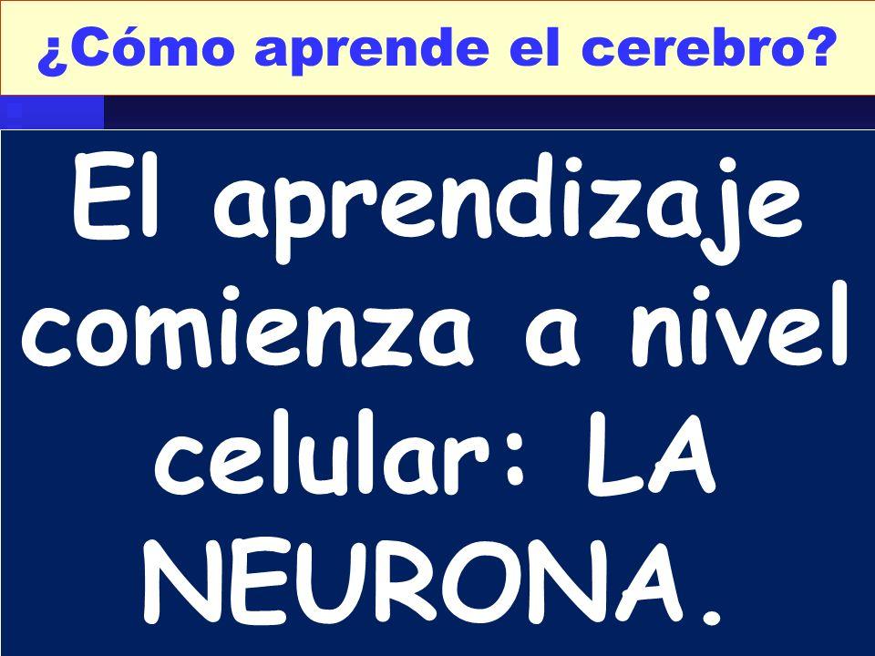 El aprendizaje comienza a nivel celular: LA NEURONA.