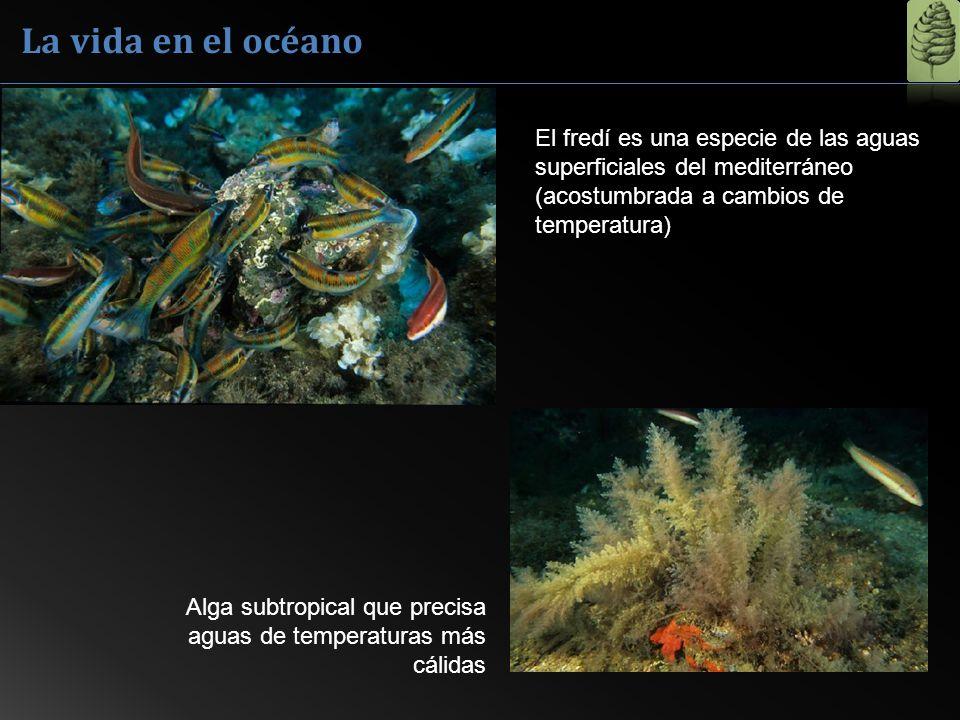 La vida en el océano El fredí es una especie de las aguas superficiales del mediterráneo (acostumbrada a cambios de temperatura)