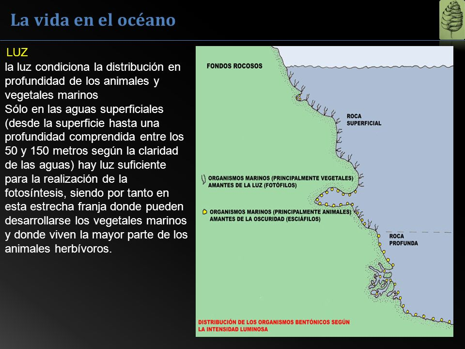 La vida en el océano LUZ. la luz condiciona la distribución en profundidad de los animales y vegetales marinos.