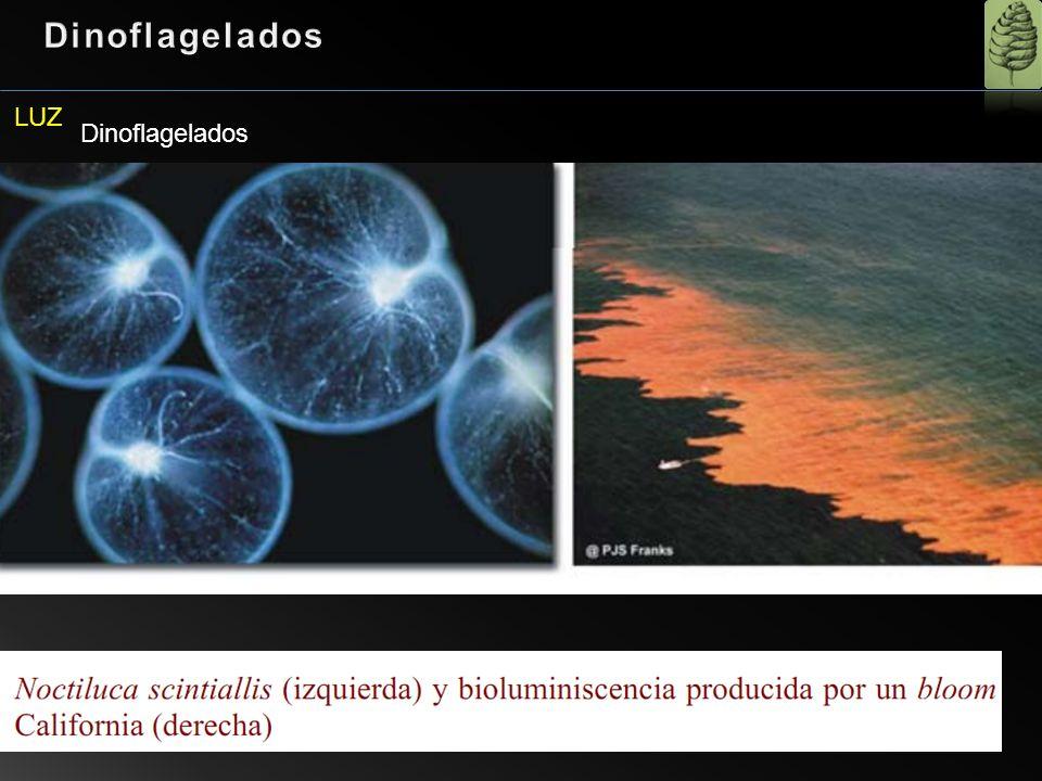 Dinoflagelados LUZ Dinoflagelados