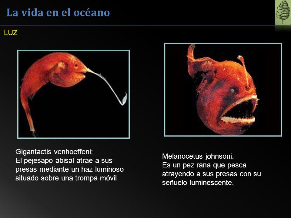 La vida en el océano LUZ. Gigantactis venhoeffeni: El pejesapo abisal atrae a sus presas mediante un haz luminoso situado sobre una trompa móvil.