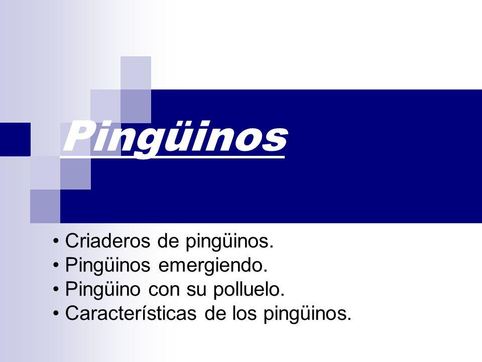 Pingüinos • Criaderos de pingüinos. • Pingüinos emergiendo.