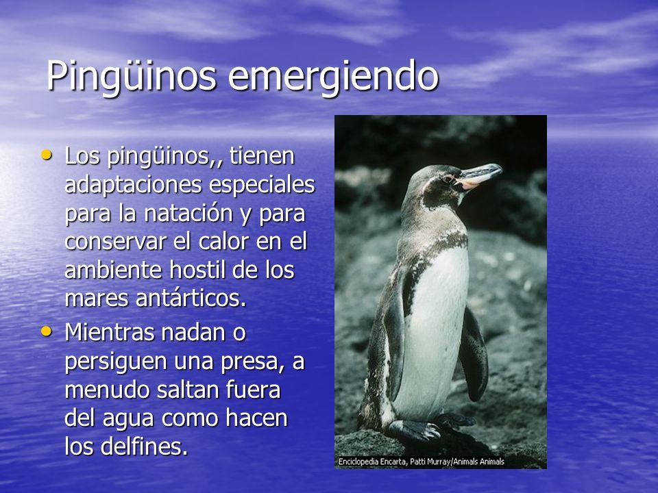 Pingüinos emergiendo