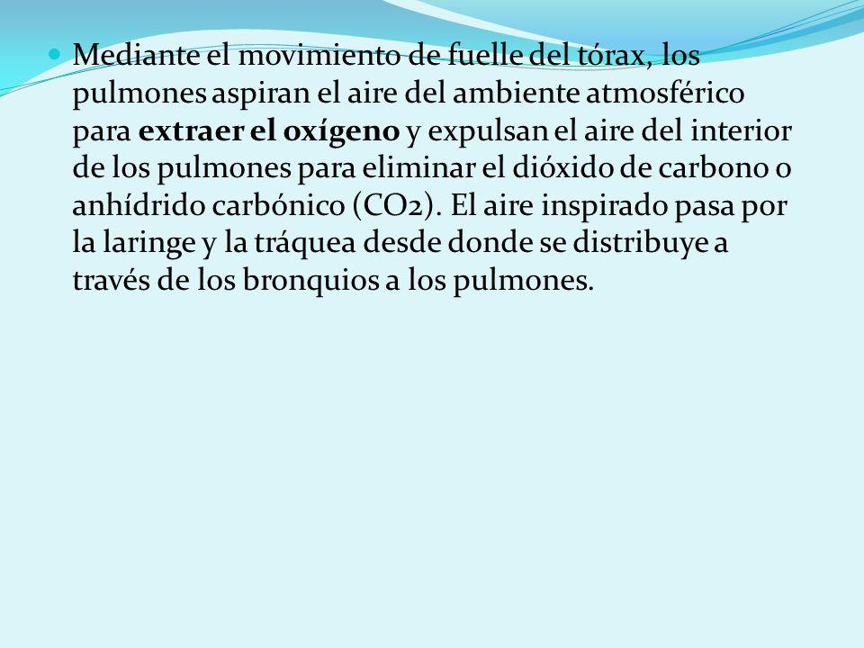 Mediante el movimiento de fuelle del tórax, los pulmones aspiran el aire del ambiente atmosférico para extraer el oxígeno y expulsan el aire del interior de los pulmones para eliminar el dióxido de carbono o anhídrido carbónico (CO2).