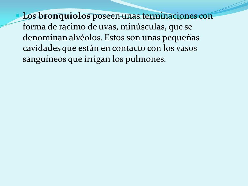 Los bronquiolos poseen unas terminaciones con forma de racimo de uvas, minúsculas, que se denominan alvéolos.