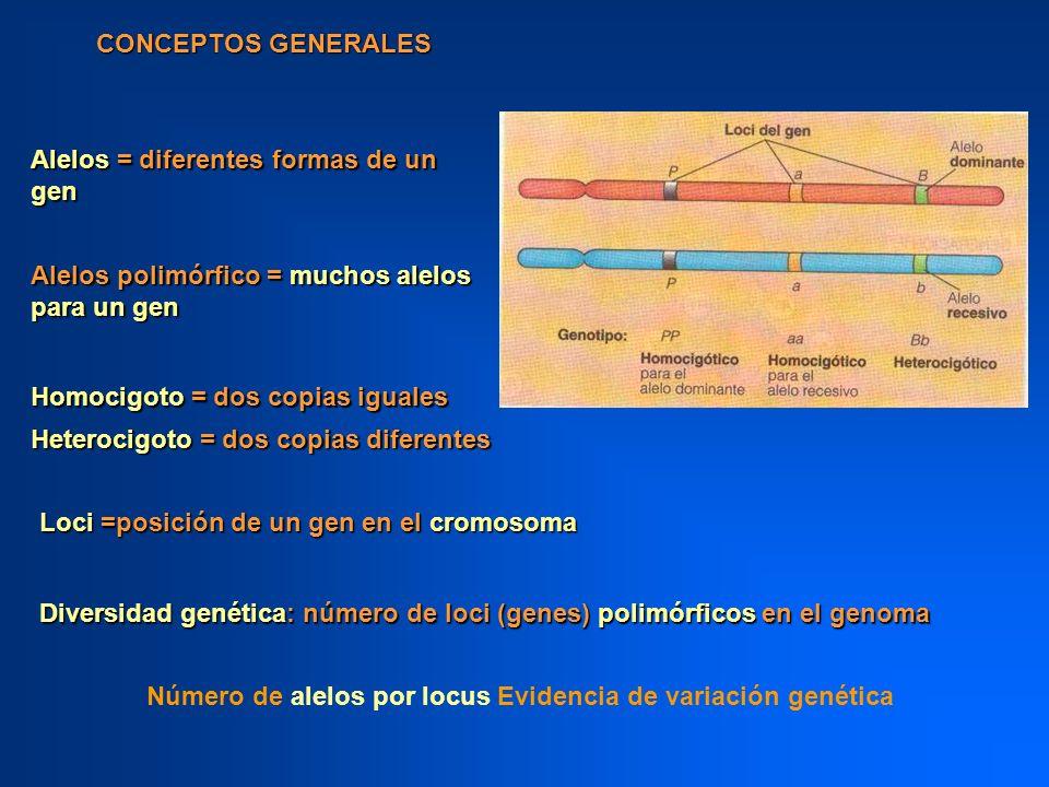 CONCEPTOS GENERALES Alelos = diferentes formas de un gen. Alelos polimórfico = muchos alelos para un gen.