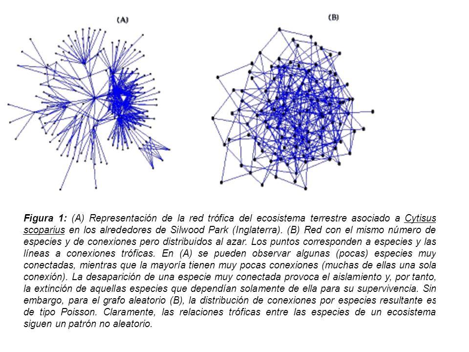 Figura 1: (A) Representación de la red trófica del ecosistema terrestre asociado a Cytisus scoparius en los alrededores de Silwood Park (Inglaterra). (B) Red con el mismo número de especies y de conexiones pero distribuidos al azar. Los puntos corresponden a especies y las líneas a conexiones tróficas. En (A) se pueden observar algunas (pocas) especies muy conectadas, mientras que la mayoría tienen muy pocas conexiones (muchas de ellas una sola conexión). La desaparición de una especie muy conectada provoca el aislamiento y, por tanto, la extinción de aquellas especies que dependían solamente de ella para su supervivencia. Sin embargo, para el grafo aleatorio (B), la distribución de conexiones por especies resultante es de tipo Poisson. Claramente, las relaciones tróficas entre las especies de un ecosistema siguen un patrón no aleatorio.