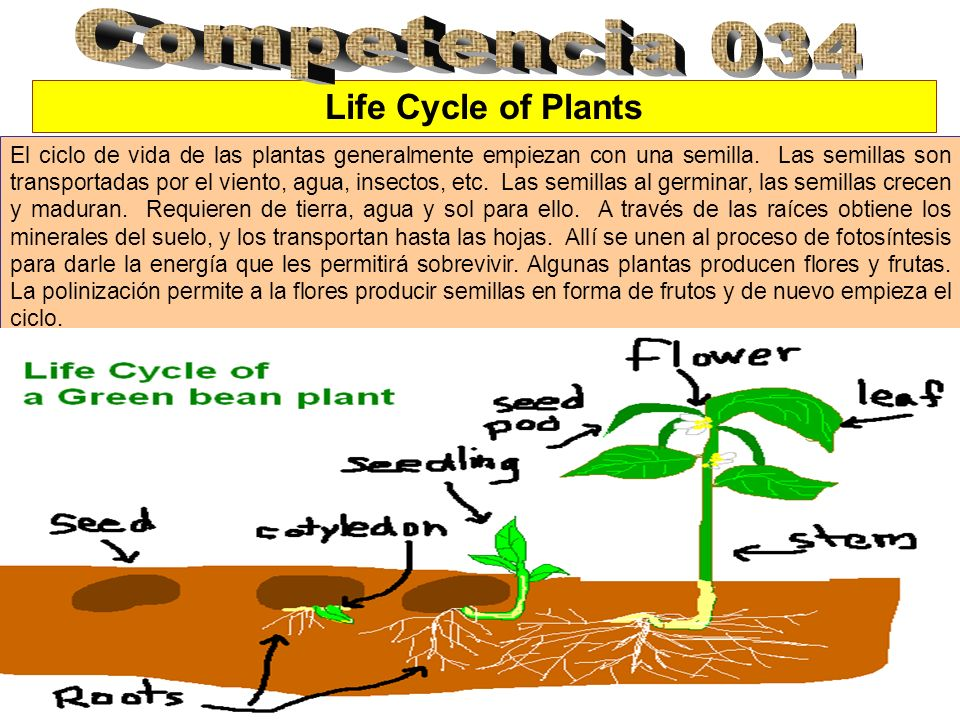 Competencia 034 Life Cycle of Plants