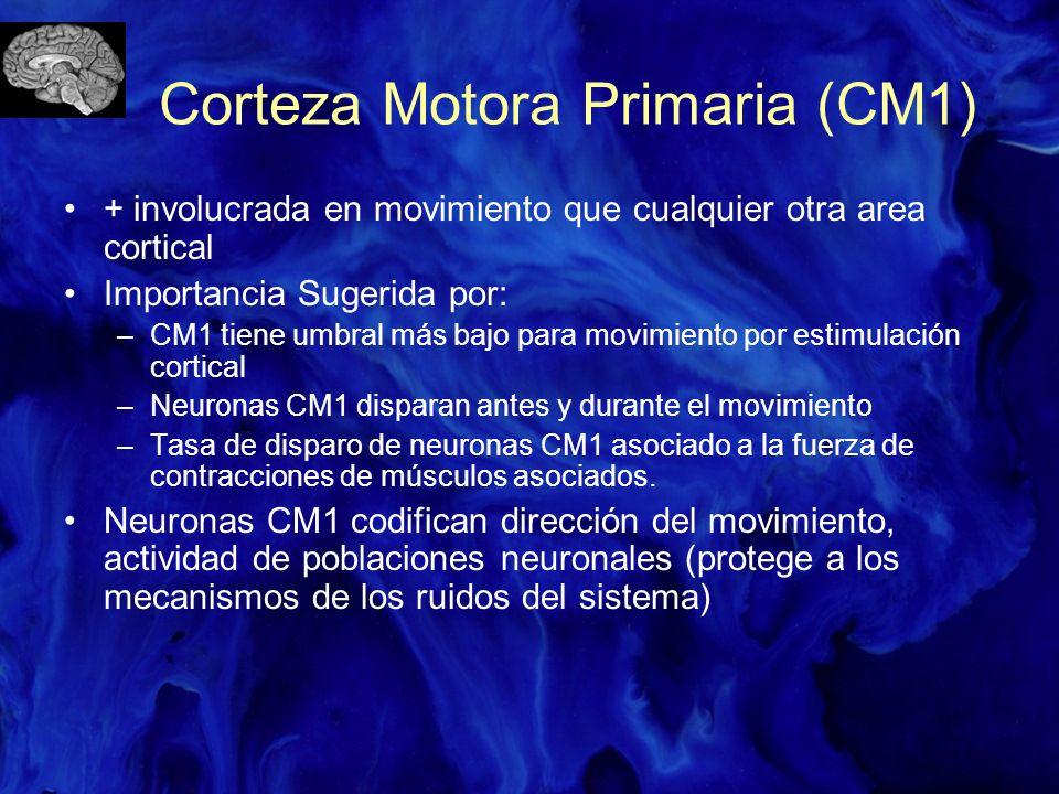 Corteza Motora Primaria (CM1)