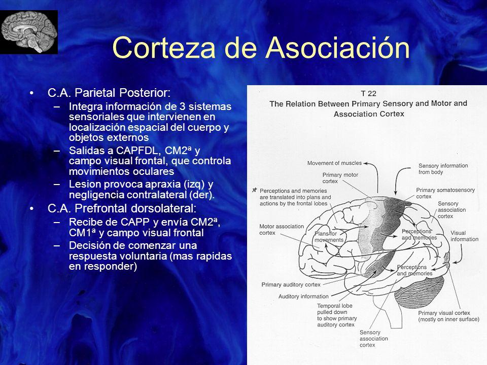 Corteza de Asociación C.A. Parietal Posterior: