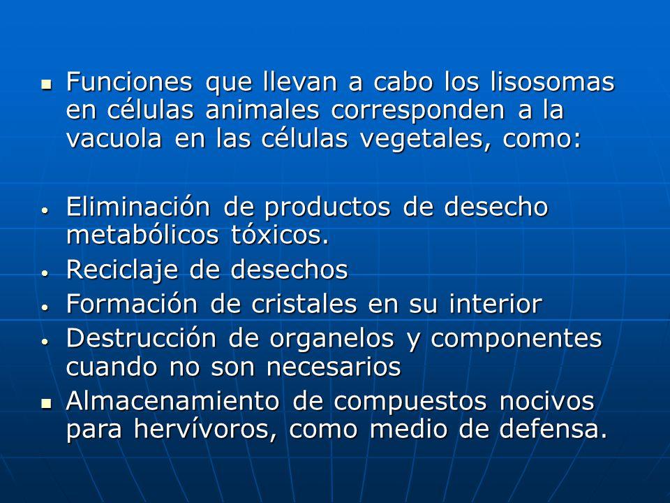 Funciones que llevan a cabo los lisosomas en células animales corresponden a la vacuola en las células vegetales, como: