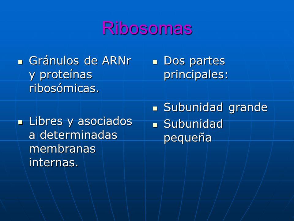 Ribosomas Gránulos de ARNr y proteínas ribosómicas.