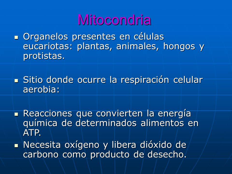 Mitocondria Organelos presentes en células eucariotas: plantas, animales, hongos y protistas. Sitio donde ocurre la respiración celular aerobia:
