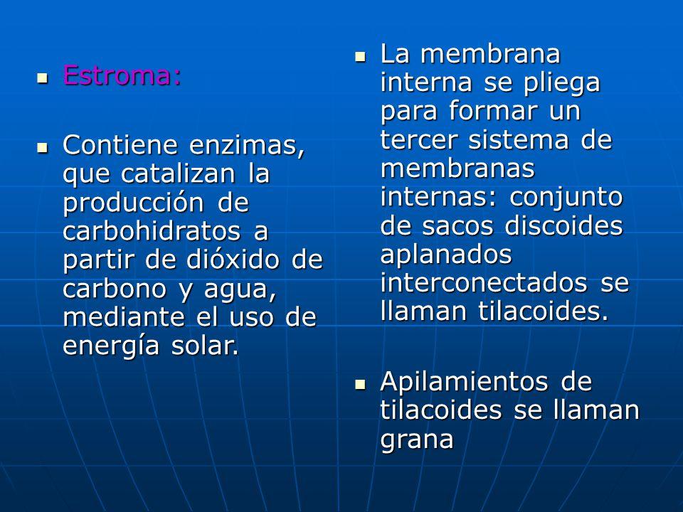 La membrana interna se pliega para formar un tercer sistema de membranas internas: conjunto de sacos discoides aplanados interconectados se llaman tilacoides.