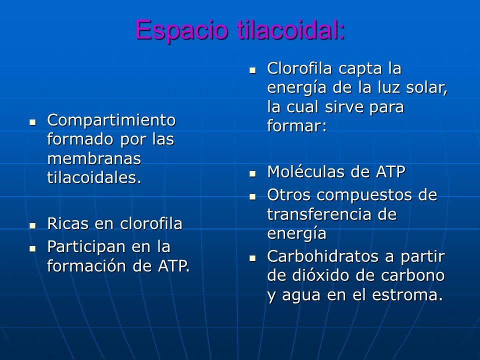 Espacio tilacoidal: Clorofila capta la energía de la luz solar, la cual sirve para formar: Moléculas de ATP.