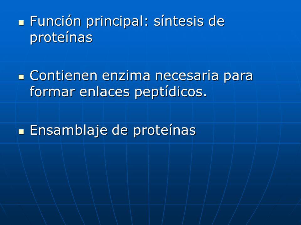 Función principal: síntesis de proteínas