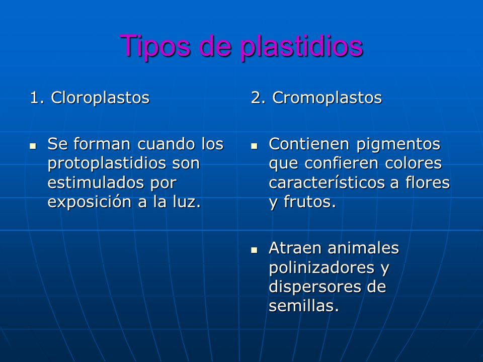 Tipos de plastidios 1. Cloroplastos