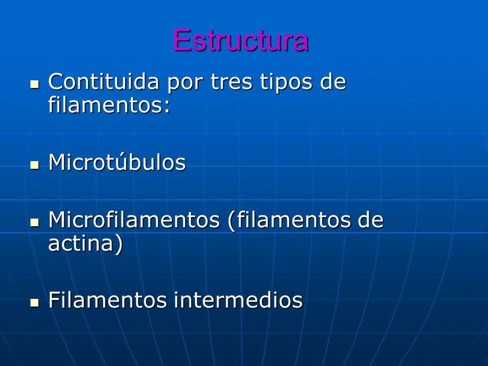 Estructura Contituida por tres tipos de filamentos: Microtúbulos