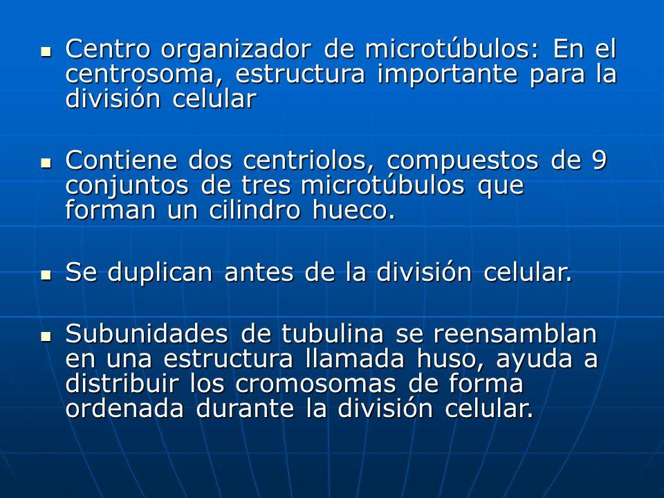 Centro organizador de microtúbulos: En el centrosoma, estructura importante para la división celular