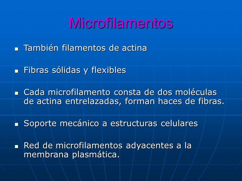 Microfilamentos También filamentos de actina