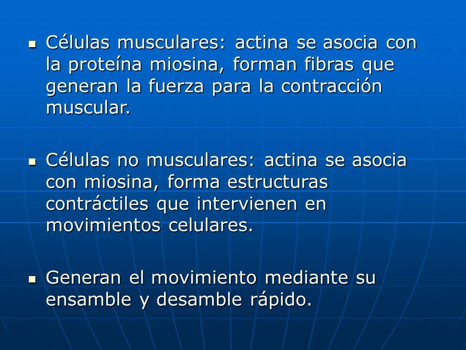 Células musculares: actina se asocia con la proteína miosina, forman fibras que generan la fuerza para la contracción muscular.