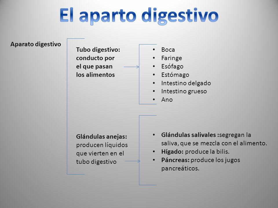 El aparto digestivo Aparato digestivo