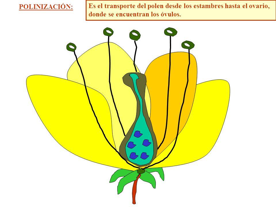 POLINIZACIÓN: Es el transporte del polen desde los estambres hasta el ovario, donde se encuentran los óvulos.