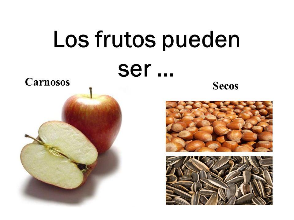 Los frutos pueden ser … Carnosos Secos