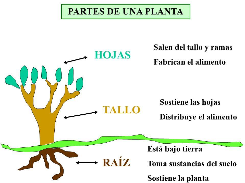 HOJAS TALLO RAÍZ PARTES DE UNA PLANTA Salen del tallo y ramas