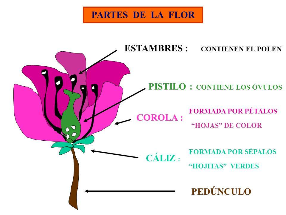 PARTES DE LA FLOR ESTAMBRES : PISTILO : COROLA : CÁLIZ : PEDÚNCULO