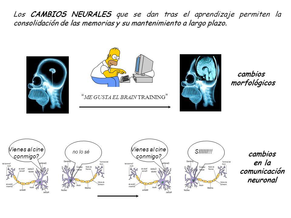 en la comunicación neuronal