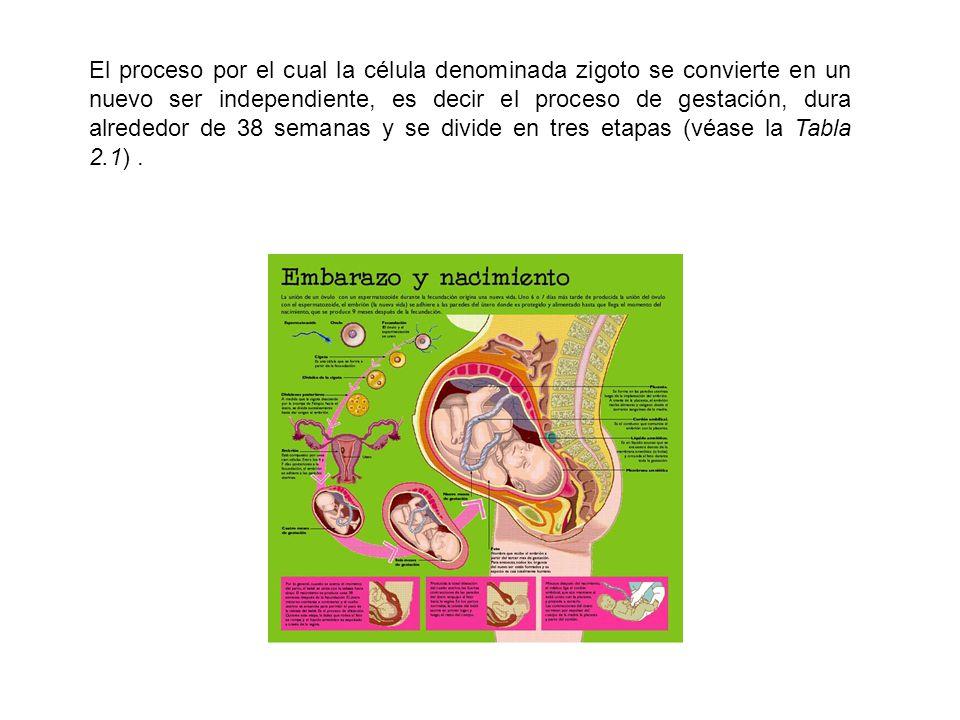 El proceso por el cual la célula denominada zigoto se convierte en un nuevo ser independiente, es decir el proceso de gestación, dura alrededor de 38 semanas y se divide en tres etapas (véase la Tabla 2.1) .