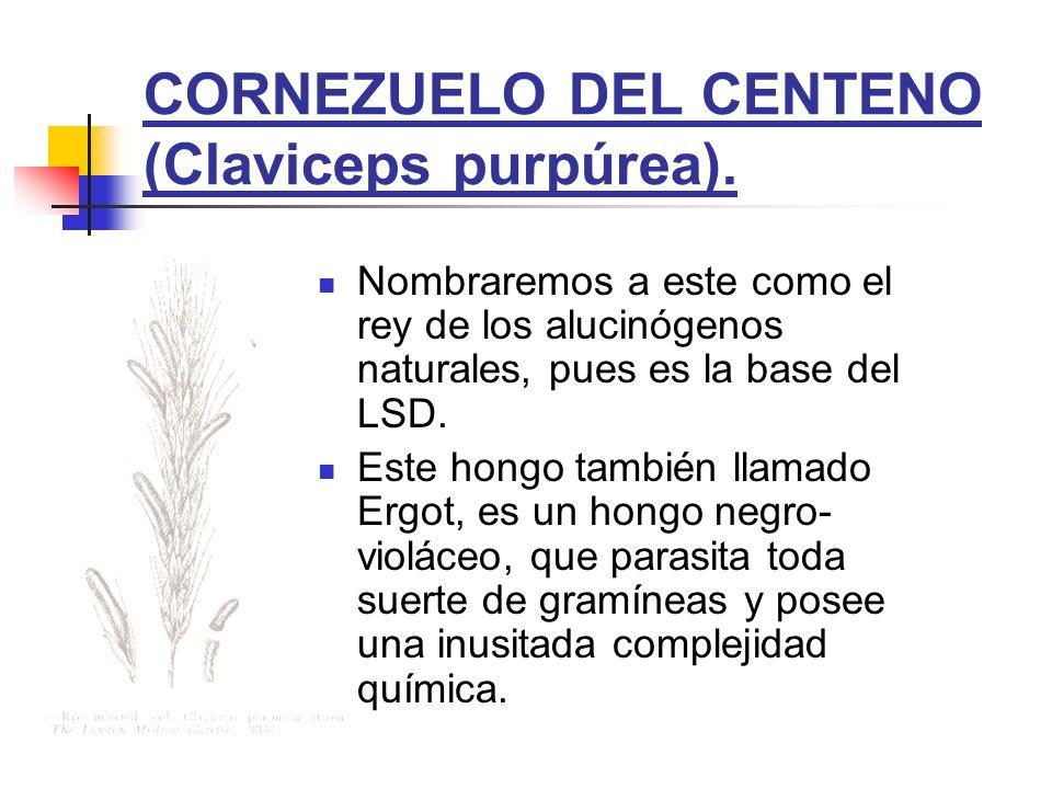 CORNEZUELO DEL CENTENO (Claviceps purpúrea).