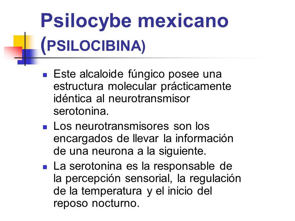 Psilocybe mexicano (PSILOCIBINA)