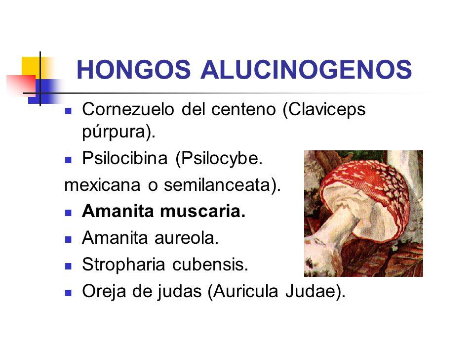 HONGOS ALUCINOGENOS Cornezuelo del centeno (Claviceps púrpura).