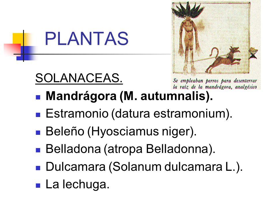 PLANTAS SOLANACEAS. Mandrágora (M. autumnalis).