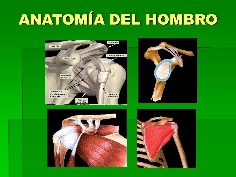 ANATOMÍA DEL HOMBRO 2 1 3 4
