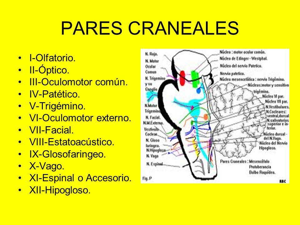 PARES CRANEALES I-Olfatorio. II-Óptico. III-Oculomotor común.