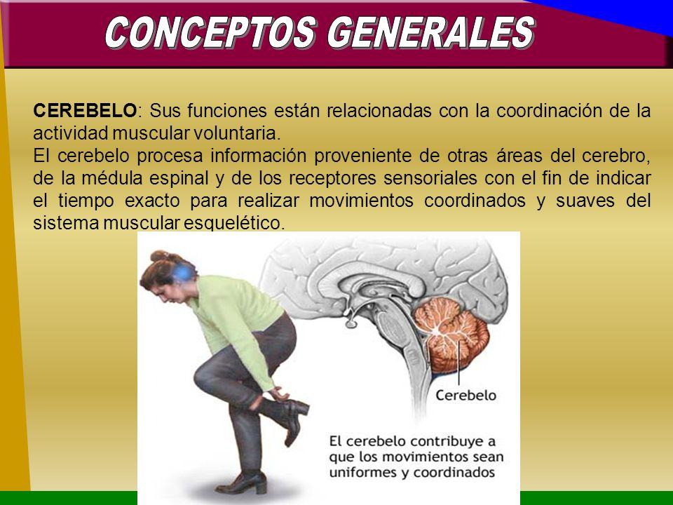 CONCEPTOS GENERALESCEREBELO: Sus funciones están relacionadas con la coordinación de la actividad muscular voluntaria.