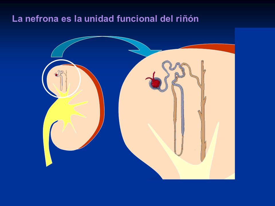 La nefrona es la unidad funcional del riñón