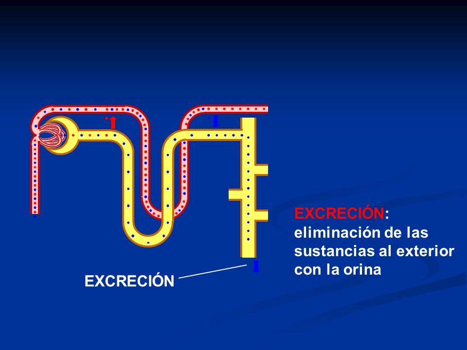 EXCRECIÓN: eliminación de las sustancias al exterior con la orina