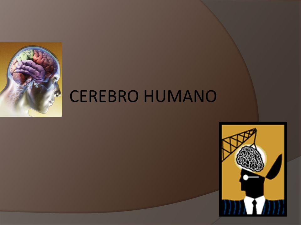 CEREBRO HUMANO PRESENTACIÓN