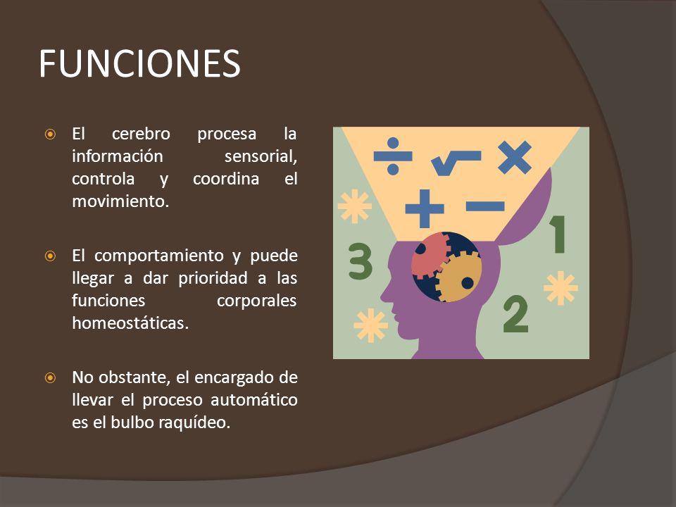 FUNCIONES El cerebro procesa la información sensorial, controla y coordina el movimiento.