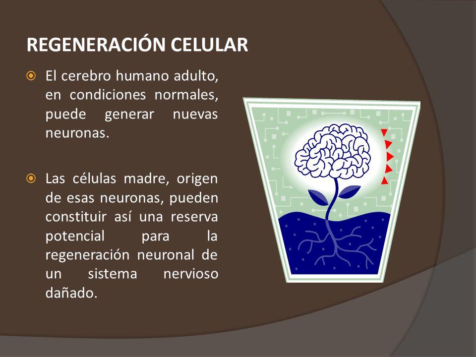 REGENERACIÓN CELULAR El cerebro humano adulto, en condiciones normales, puede generar nuevas neuronas.