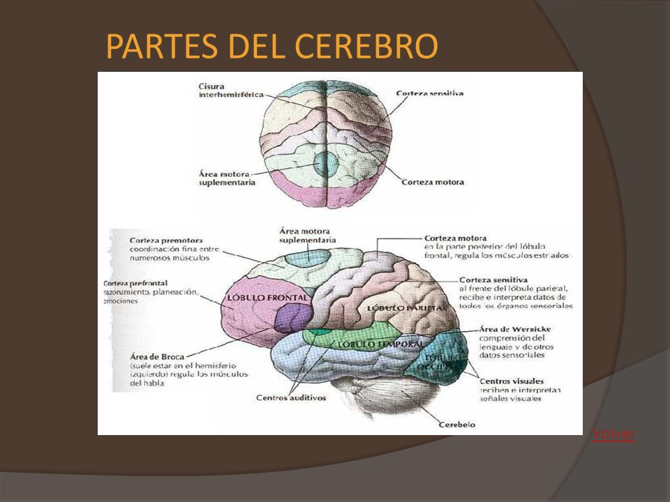 PARTES DEL CEREBRO Volver