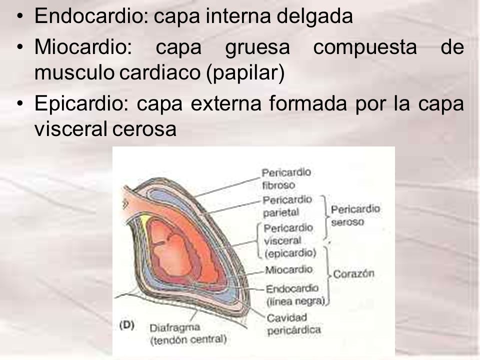 Endocardio: capa interna delgada