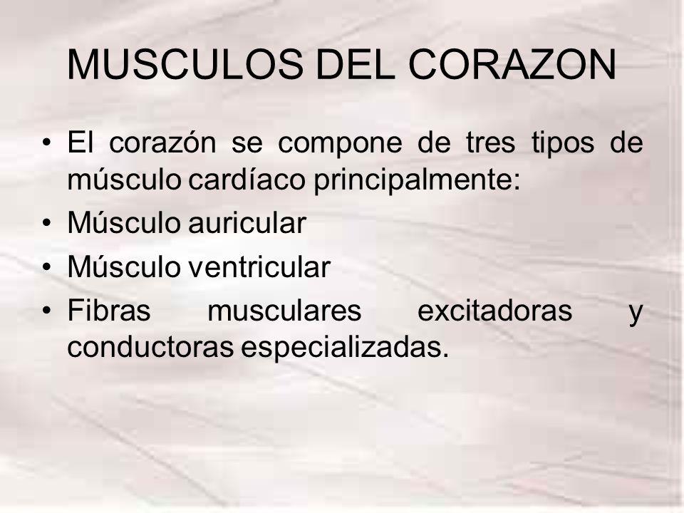 MUSCULOS DEL CORAZON El corazón se compone de tres tipos de músculo cardíaco principalmente: Músculo auricular.