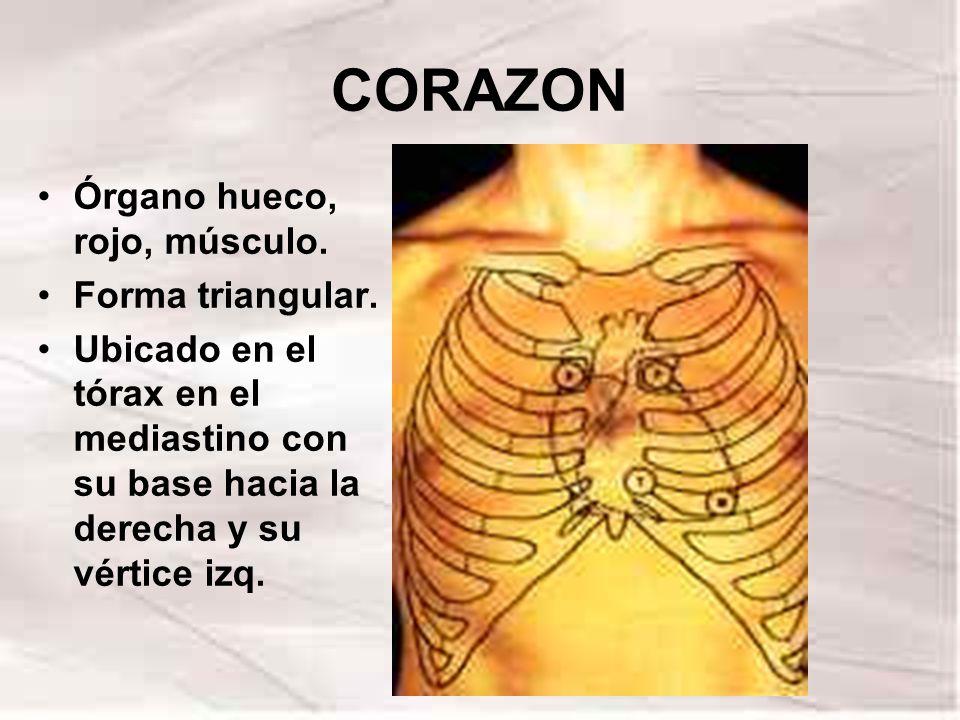 CORAZON Órgano hueco, rojo, músculo. Forma triangular.