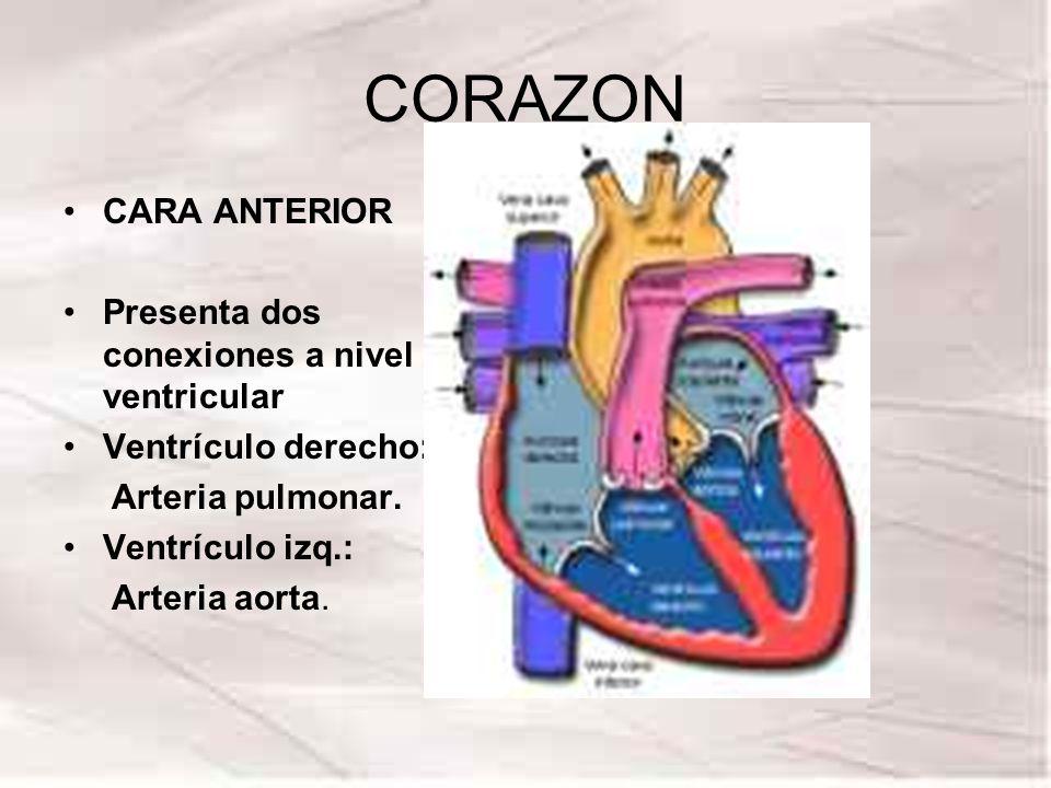 CORAZON CARA ANTERIOR Presenta dos conexiones a nivel ventricular